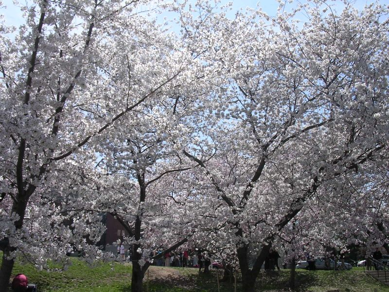 CherryBlossom 001