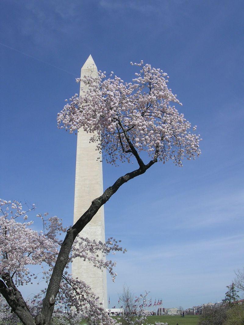 CherryBlossom 002