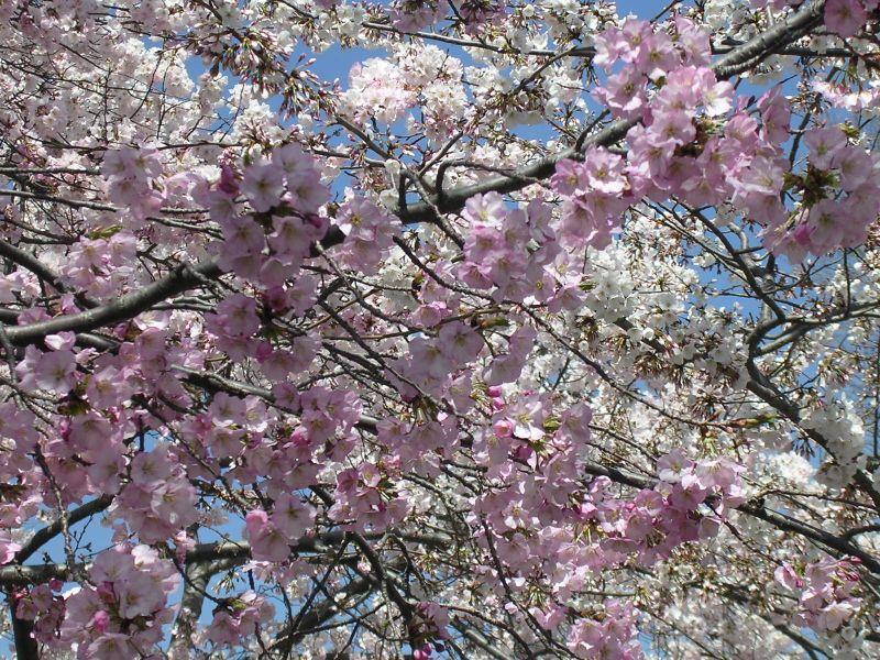 CherryBlossom 011