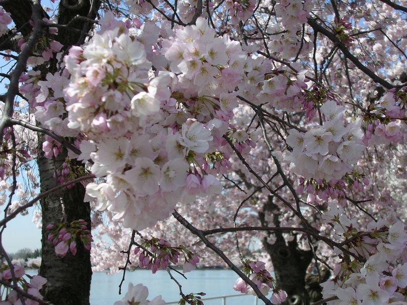 CherryBlossom 009
