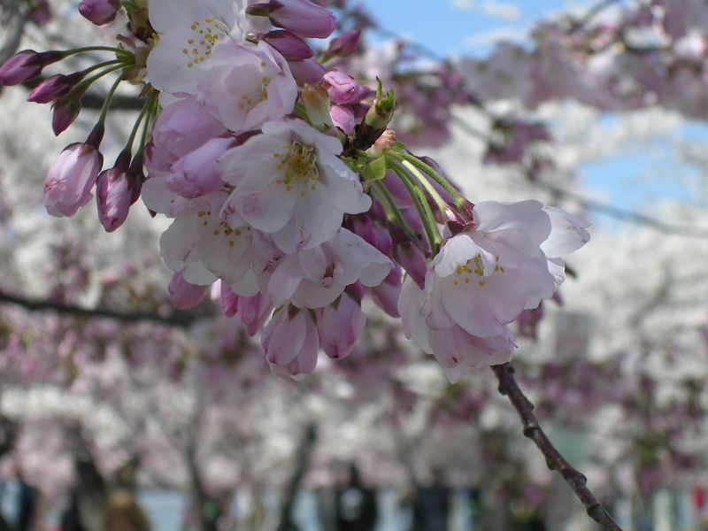 CherryBlossom 010