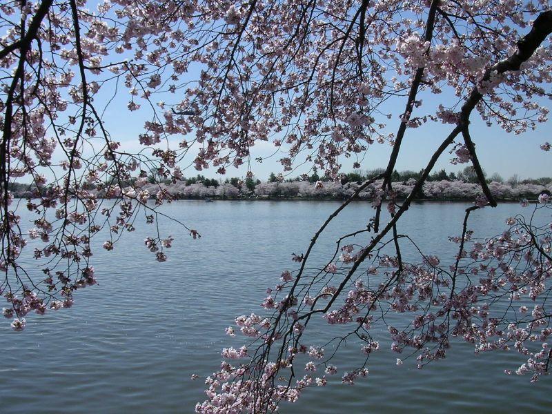 CherryBlossom 013